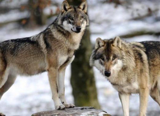 """""""Incontro con il lupo"""", la serata del Cai affronta il problema in equilibrio tra salvaguardia e convivenza"""