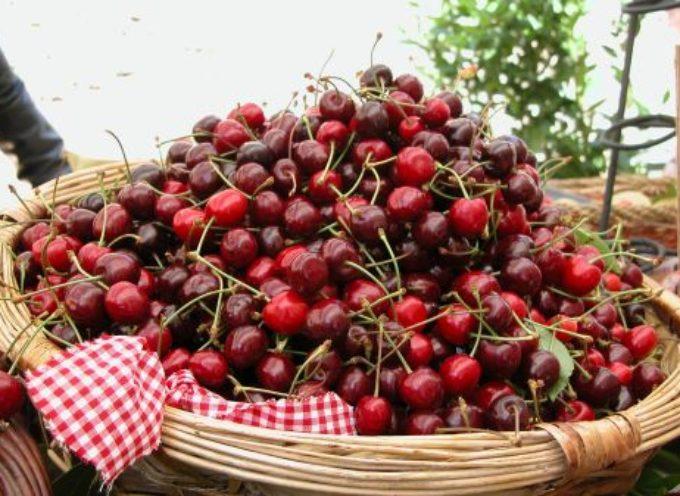 Agricoltura, il maltempo ha distrutto mille quintali di ciliegie toscane