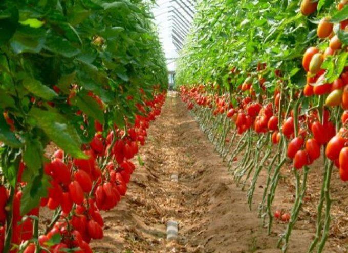 """Caldo, Confagricoltura Toscana: """"Emergenza pomodoro, riduzioni fino al 30%"""""""