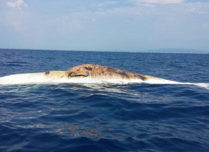 Balenottera morta al largo di Marina di Pisa