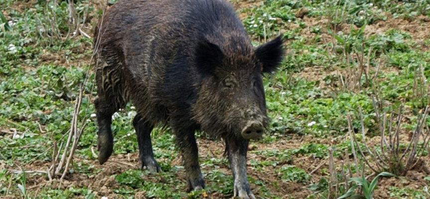 Cinghiali a San Macario in Piano e Santa Maria a Colle: il Comune invita i privati a tenere puliti i terreni incolti di proprietà