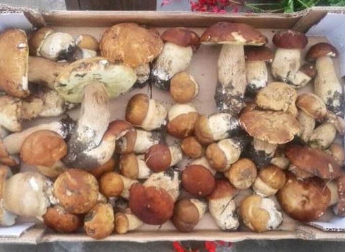 Una straripante nascita di funghi porcini in Valle del Serchio