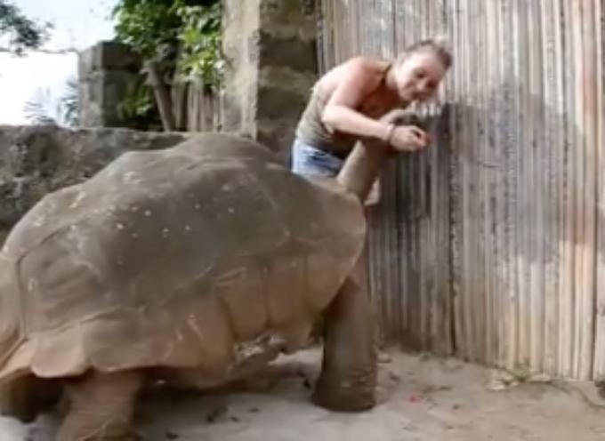 Una tartaruga gigante da far paura, invece il suo comportamento è dolcissimo…