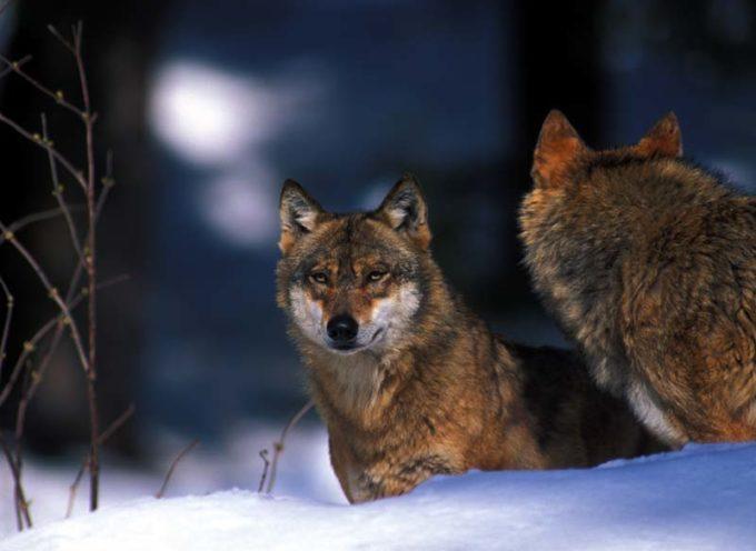 Danni provocati dai lupi, Remaschi chiede un fronte comune con gli allevatori