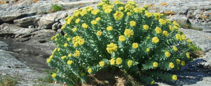 Rodiola:una pianta dalle proprietà spaziali