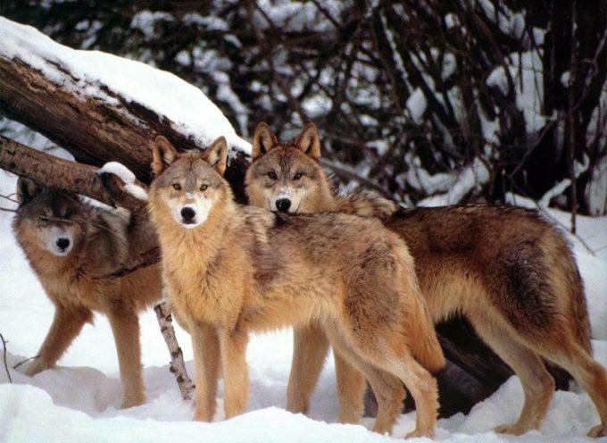 Incontri ravvicinati con i lupi della Garfagnana: esploratori e cacciatori[video]