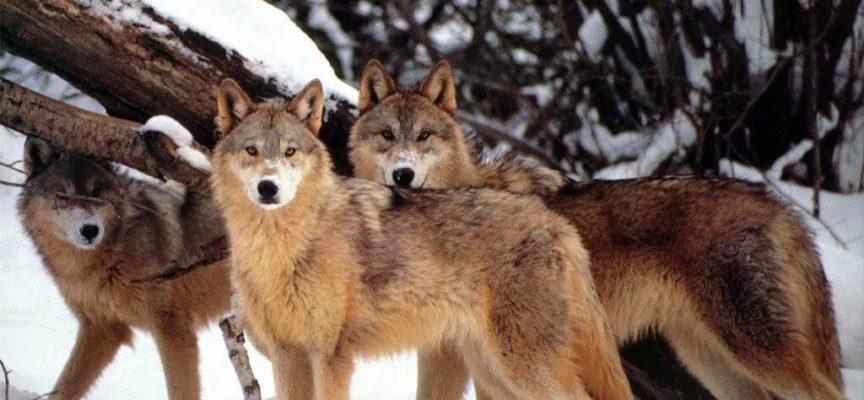 avvistati lupi vicino alla chiesa di Gorfigliano