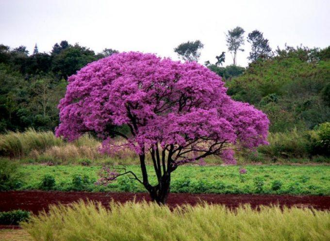 Il lapacho: una pianta miracolosa dalle foreste Amazzoniche!