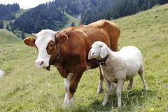 mucca-e-pecore-43842265