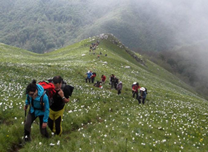 Monte Croce Straordinaria fioritura dei Narciso Poeticus 2018, le giunchiglie del monte croce