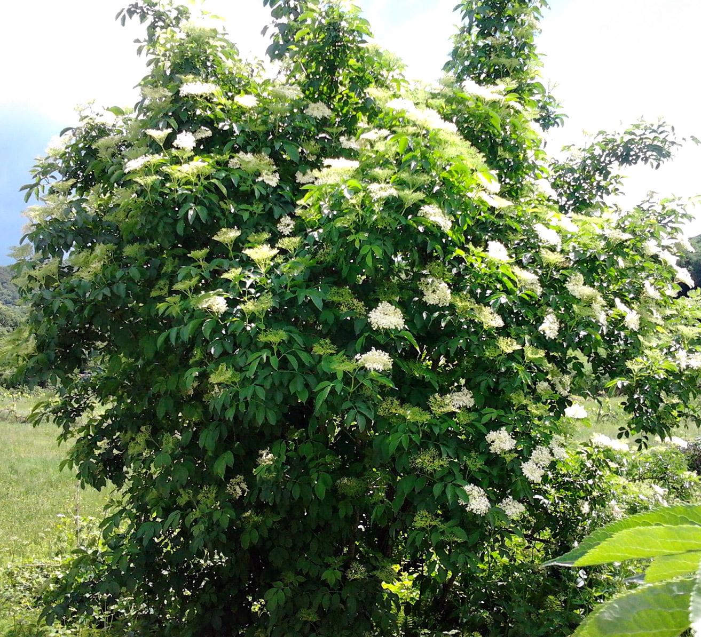 Sambuco Propriet 224 E Benefici Verde Azzurro Notizie