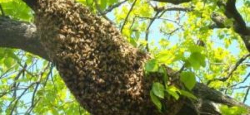 Grande sciame d'api [VIDEO]