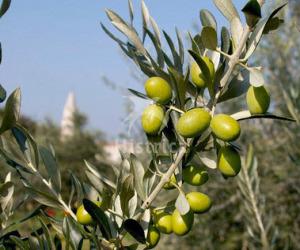 Maslinovo_ulje_oliven_oil_olio_d_oliva_big