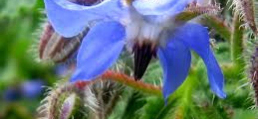 La borragine, una pianta spontanea nei nostri campi