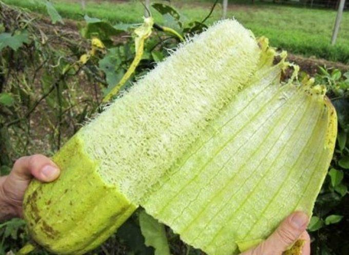 Luffa, la spugna vegetale che possiamo coltivare anche noi