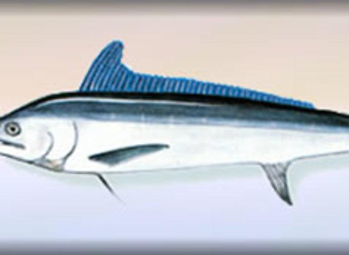 """Fette congelate di marlin infette: alto rischio di «avvelenamento da sgombroidi». """"Gravi rischi per la salute"""