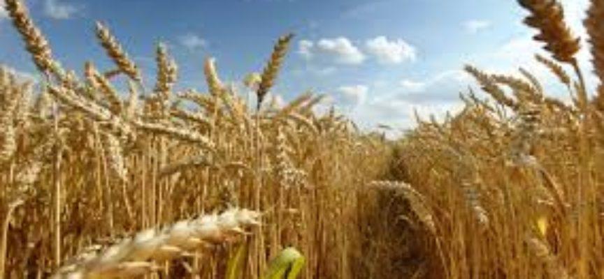 """Agricoltura: il prezzo del grano precipita.  Confagricoltura Toscana """"A rischio l'intera produzione"""""""