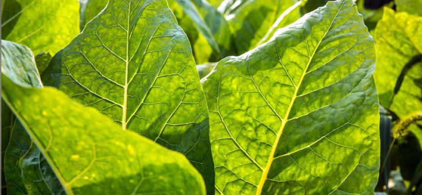 Tabacco: una pianta medicinale divenuta serial killer