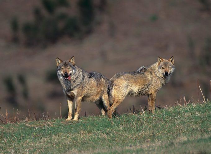 In Italia tornano i lupi, ma in pochi ne sono felici