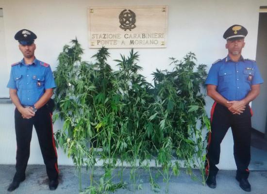 Lucca: 63enne sorpreso con 8 piante di Marijuana