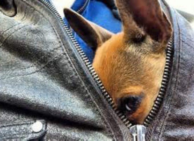 """""""Dognapping""""  in Italia: aumentano i rapimenti di cani. Bersaglio preferito gli animali di razza."""
