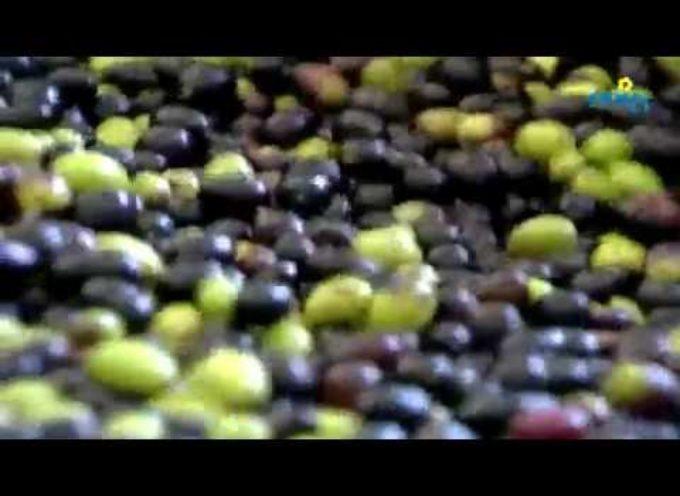 La raccolta delle olive è già iniziata, produzione in calo ma di qualità