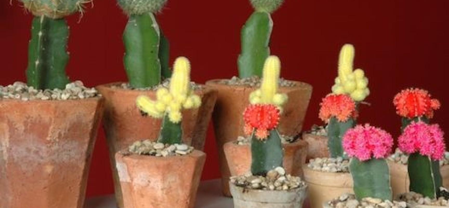 Amate le piante grasse ecco come fare in casa un innesto - Le piante grasse si possono tenere in casa ...
