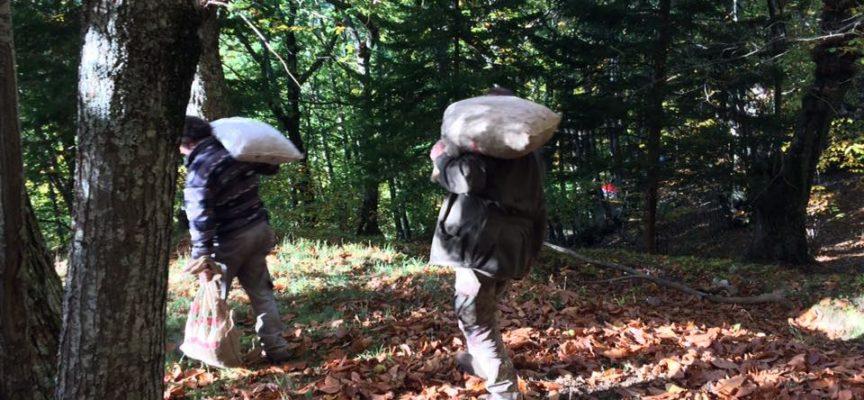 la raccolta delle castagne in garfagnana