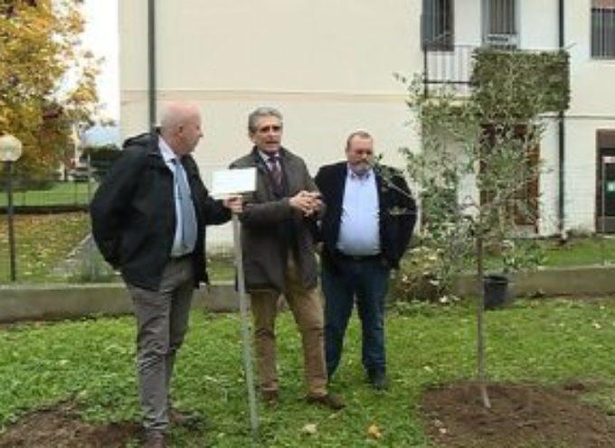 """Un olivo per la """"Giornata nazionale degli alberi"""""""