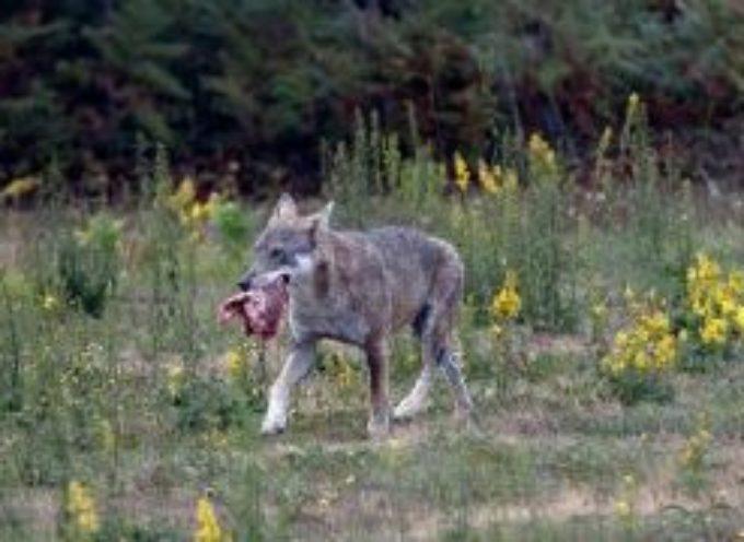 un  lupo  sbrama una pecora a Sillico