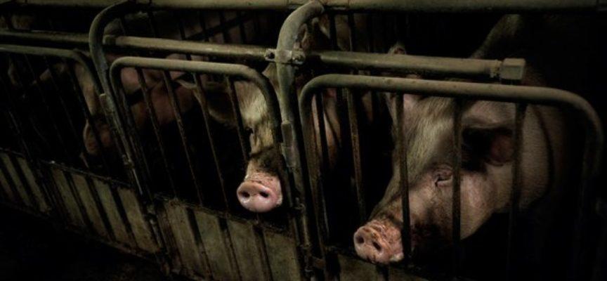 CONSUMO DI CARNE IN CALO: LE PERSONE SANNO COSA ACCADE AGLI ANIMALI NEGLI ALLEVAMENTI