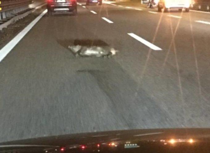 """Lucca, branco di cinghiali in autostrada. Confagricoltura: """"Poteva essere una strage."""