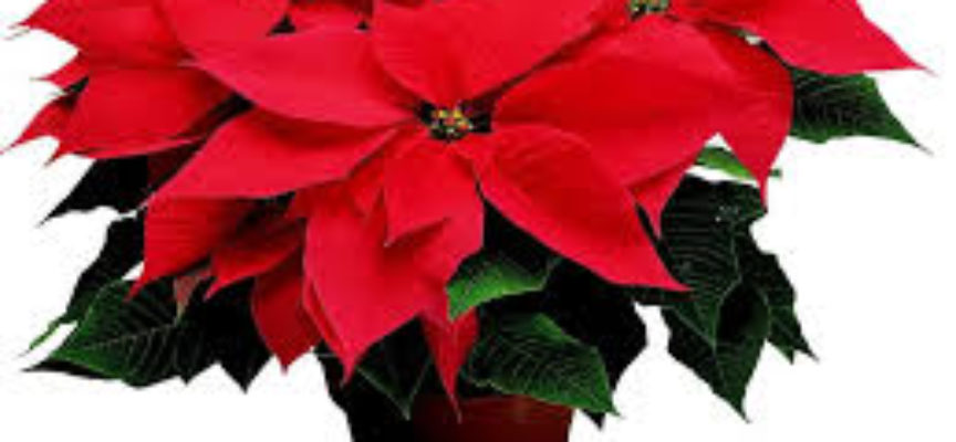 Talea Stella Di Natale.La Stella Di Natale Verde Azzurro Notizie