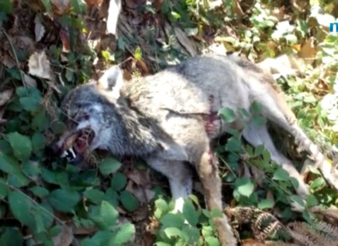 SAN ROMANO – RINVENUTA Carcassa di lupo