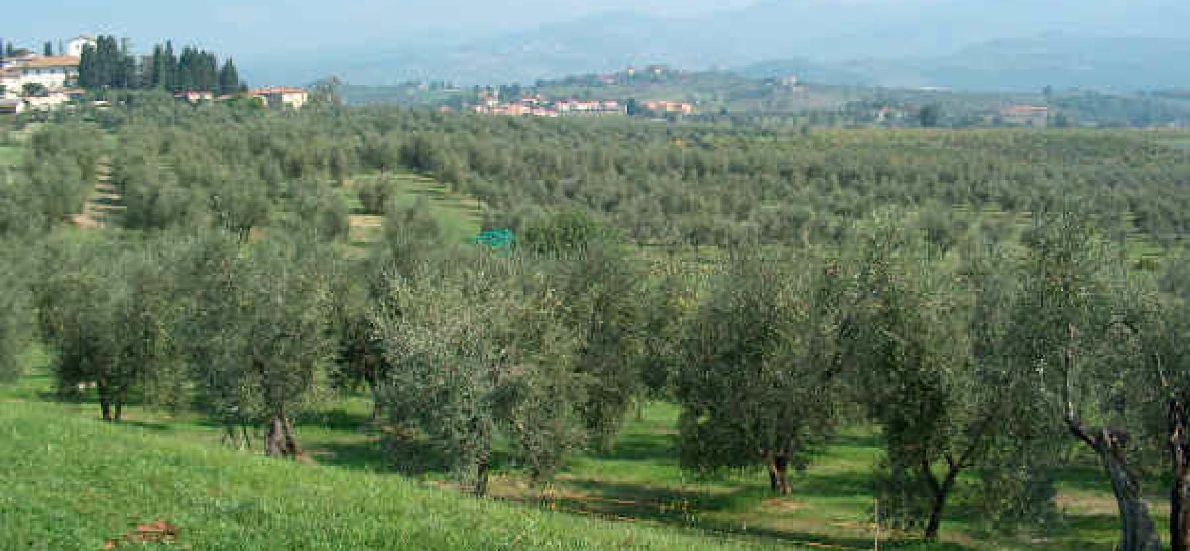 Alberi da frutto olivo verde azzurro notizie for Alberi da frutto