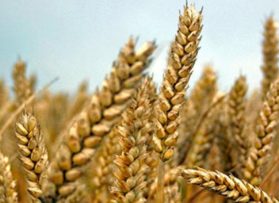 Farro: proprietà, valori nutrizionali e benefici
