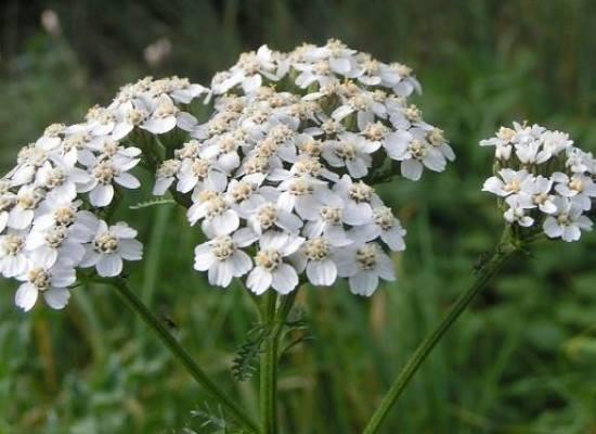 Achillea millefolium, nome di una pianta che richiama alla figura mitica di Achille