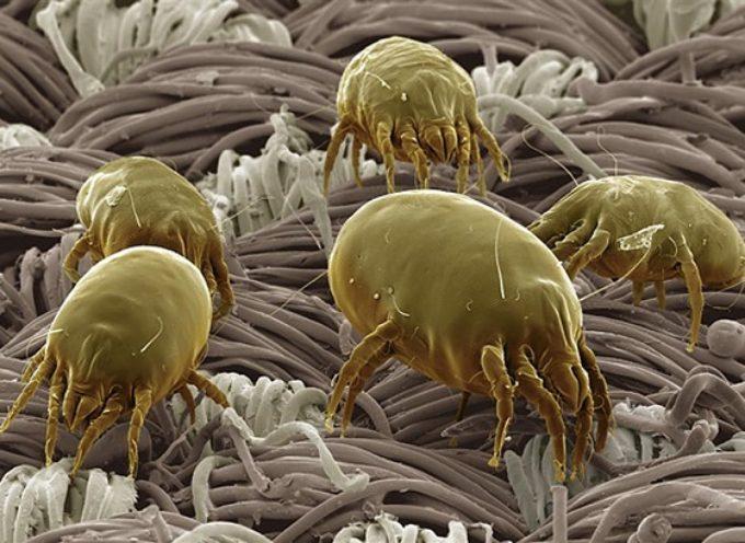 Allergia agli acari:  in arrivo prima pillola. Ne soffre un italiano su tre