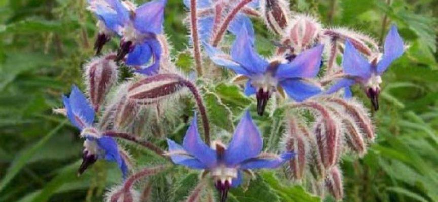 Borragine: benefici, usi e controindicazioni della pianta che scaccia la tristezza