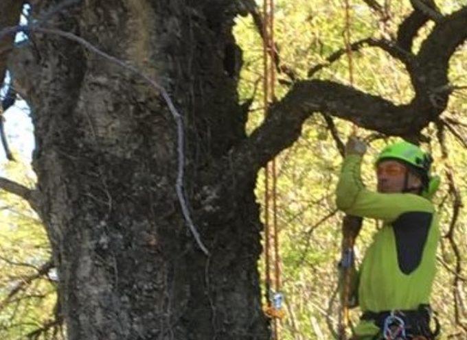 """Stamattina potatura dell'albero monumentale Cerrosughera """"la sughera del Curvon"""""""