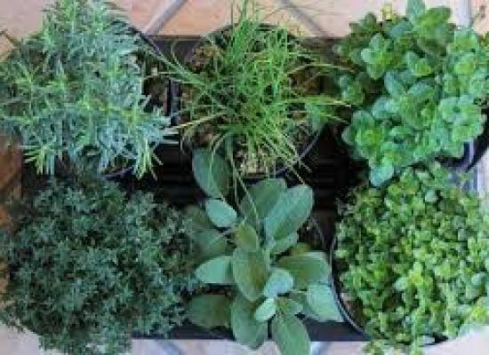 lucca  – le piante aromatiche
