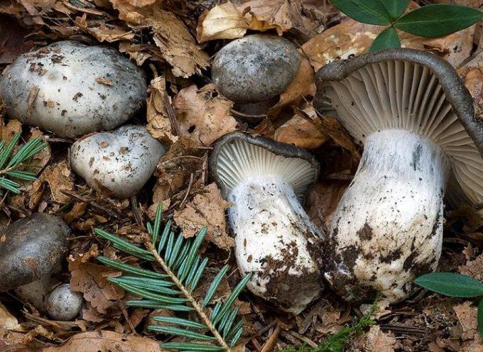 lucca – si parla dei funghi dormienti