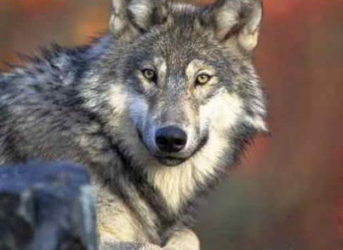 Posticipato il piano sulla salvaguardia del lupo
