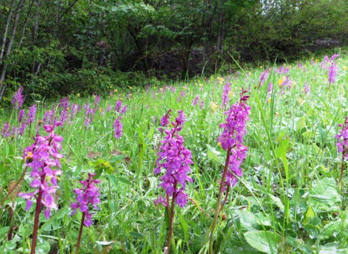 Per gli amanti delle orchidee spontanee,oltre cinquanta specie. Anche queste in Garfagnana