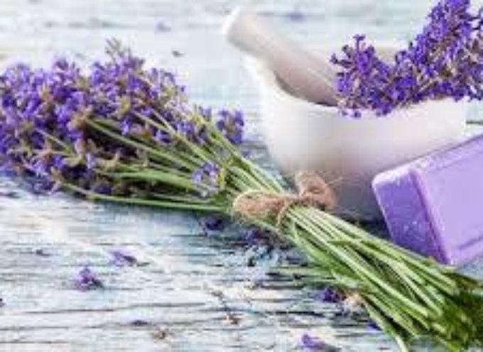 Lavanda: un fiore dalla storia millenaria.