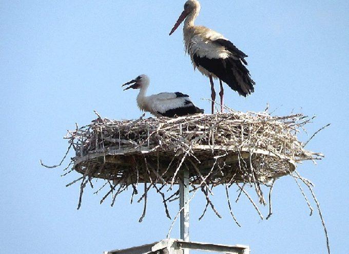 Toscana: il ritorno della cicogna bianca