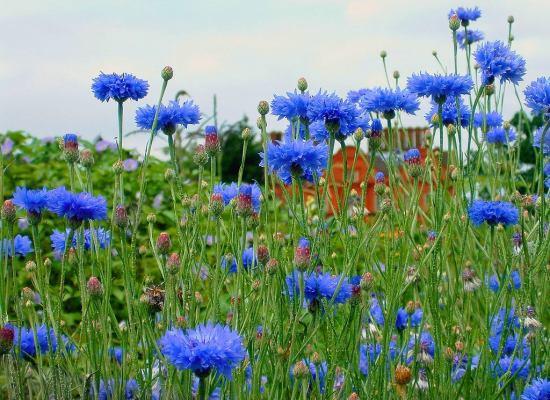 Il fiore color del cielo: il Fiordaliso.