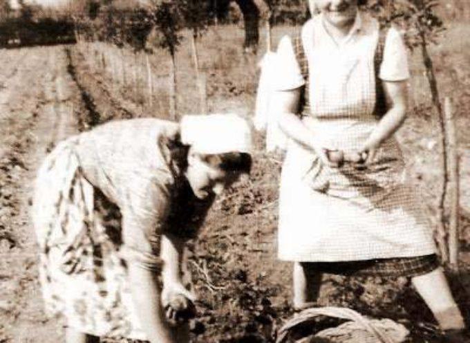 I lavori di stagione: la raccolta delle patate.