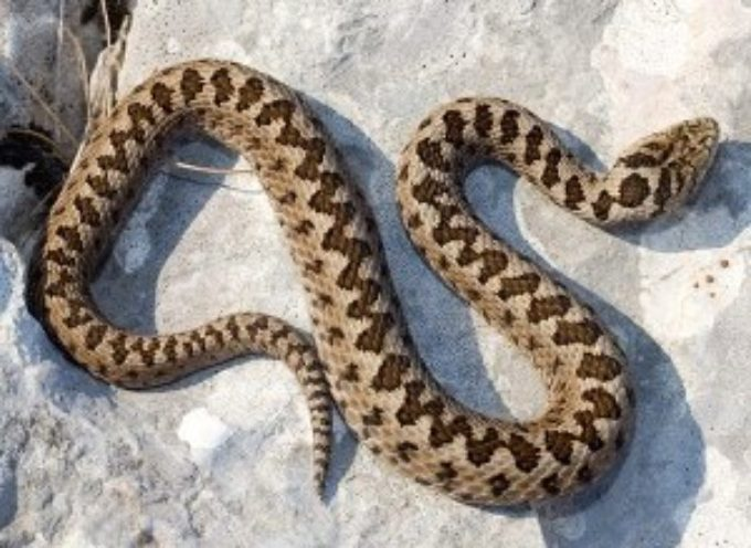 Morso di vipera, ecco cosa fare e come riconoscere questo serpente