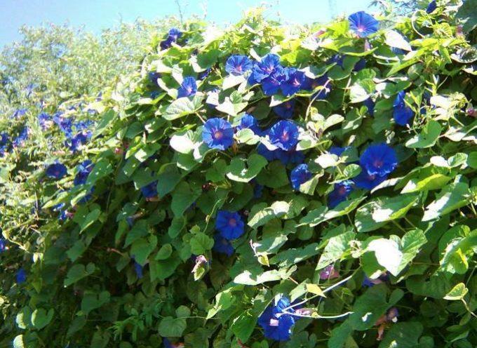 I fiori che ci accompagnano all' Autunno: le Ipomee.